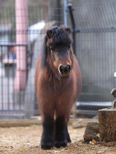 上野動物園 ミゼットホース