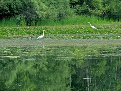 Egrets on the Huron River, July (Tatiana12) Tags: cruise water birds river michigan annarbor spyder huronriver huron egrets 2011 puremichigan revelnspyder