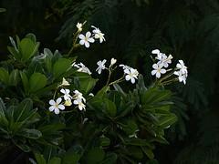 White Chafa flowers near my house (sroy_sroy) Tags: white flower pune fragrance chafa