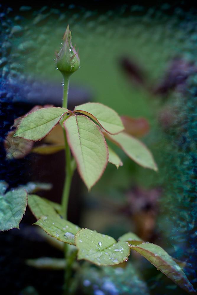 Layers 11/31:  Rosebud