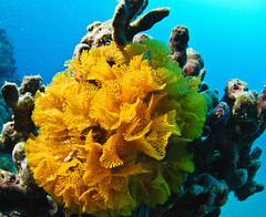 """The """"Bryozoan"""" community. (Cruising, traveling & dive pics.) Tags: coral cd 2011 2011nthcrus"""