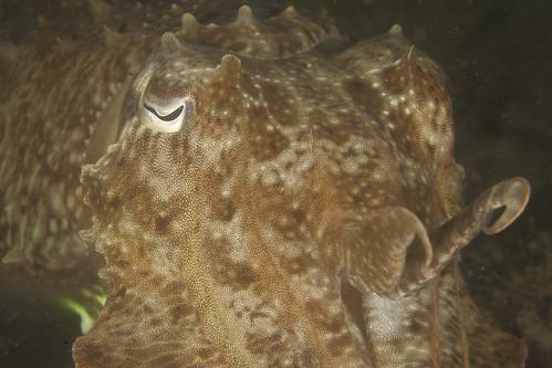 Hantu - 12 (cuttlefish)
