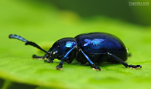 Blue Beetle by Yogendra174