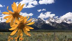 Mountain Sunflowers (Brady S) Tags: mountains flower nature nationalpark wildflowers grandtetons balsamroot grandtetonnp grandtetonnationalpark arrowleaf
