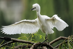 Young Cattle Egret (Marc_Scott-Parkin) Tags: mygearandme mygearandmepremium mygearandmebronze mygearandmesilver mygearandmegold mygearandmeplatinum