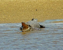 "010 Croc on Daintree ev • <a style=""font-size:0.8em;"" href=""http://www.flickr.com/photos/36398778@N08/5991214482/"" target=""_blank"">View on Flickr</a>"