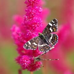 Poplar Admiral (Limenitis populi) (vaskos66) Tags: macro nature beautiful insect poplar pentax sigma populi admiral makro 70200 k7 limenitis vaskos66