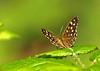 HIgh Spec (Mr Grimesdale) Tags: butterfly speckledwood stevewallace challengeyouwinner britishbutterflies mrgrimesdale