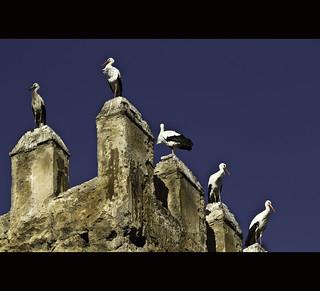 Storks of Fez