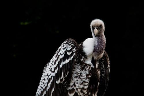 [フリー画像] 動物, 鳥類, マダラハゲワシ, 201108060700
