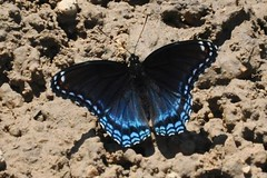 dark wings (christiaan_25) Tags: blue shadow sunlight black butterfly insect wings purple mud lepidoptera spots antennae limenitisarthemis redspottedpurple limenitisarthemisastyanax youtaketheshotwhenitsgiventoyou sorryfortheuglybackground