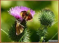 A)coppia farfalle (franco nadalin) Tags: natura panasonic friuli farfalle fz100 franconadalin