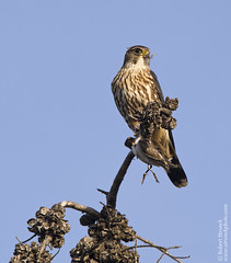 Merlin (Bob Stronck) Tags: hawk raptor merlin falcon falcocolumbarius cityofmountainview ©rmstronck shorelineparklake stronckphotocom birdsofsanfranciscobay
