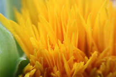 Sunflower Via the Lensbaby (interchangeableparts) Tags: summer flower yellow lensbaby sunflower lensbabymacro