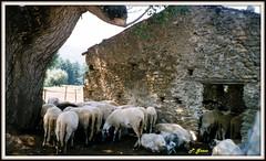 IL GREGGE (peppino42) Tags: natura campagna animali casolare pecore pascolo gregge decollaturanet