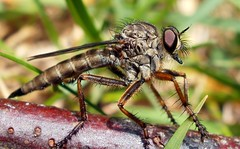 Robber Fly(1) (Kevin Pendragon) Tags: charterhouse wonderfulworldofmacro unlimitedinsectslevel1 unlimitedinsectslevel2 unlimitedinsectslevel3 unlimitedinsectslevel4 unlimitedinsectslevel5