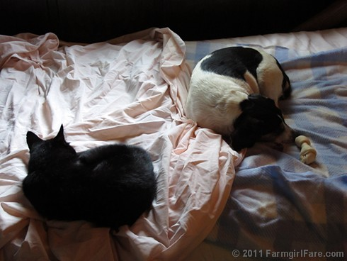 Mr. Midnight and Beagle Bert sacked out on the daybed 1 FarmgirlFare.com