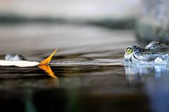 Crocodile (jojofotografia) Tags: naturaleza nature water zoo nikon prague d sigma praha praga natura cocodrilo crocodile predator 700 acqua 70200 occhio animale coccodrillo alligators krokodil lanature  predatore prdateur crocodilians alligatore sigma70200 d700  krokodl nikond700 flickraward animals