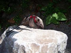 Tamandua on boulder