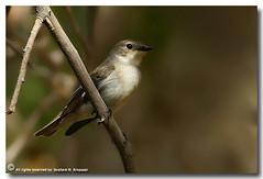 Semi-Collared Flycatcher (ibrahem N. ALNassar) Tags: red bird canon eos n l kuwait usm f56 ef 30d flycatcher 400mm    alnassar nearthreatened    ibrahem ficedulasemitorquata   semicollared ibrahemphotocom