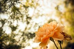 August Twelfth. (redaleka) Tags: summer orange flower tree green nature beautiful rose garden petals spring friend soft bokeh peach augusttwelfth threehundredsixty
