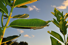 Monarch Caterpillar DSC_3415 by Mully410 * Images