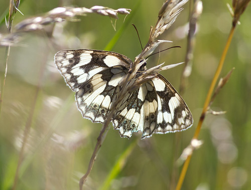 marbled white butterfly backlit