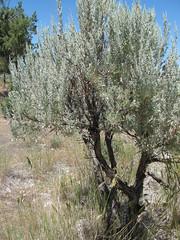 Peter Skene Ogden (Anomieus) Tags: trip usa oregon landscape desert scenic dry canyon historic viewpoint crookedriver peterskeneogden