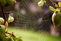 Autumn - (egefan - Suzan Almond) Tags: spider drops web quince img5741