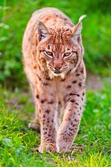[フリー画像] 動物, 哺乳類, 猫・ネコ, オオヤマネコ, 201107111100