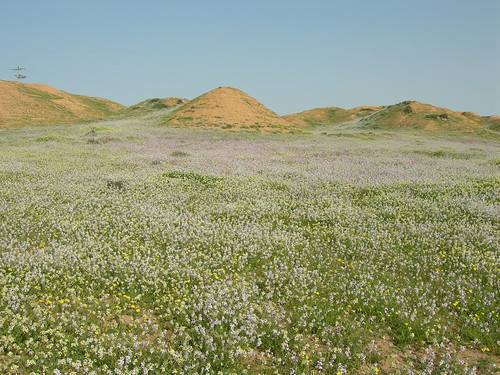 Desert_Wildlfowers_S_of_Urim_IL_2007_02_17_006.jpg