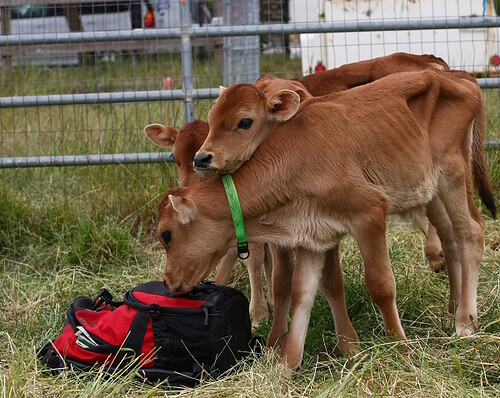 All Calves Love Camera Bags