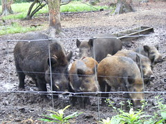 Eurasian wild boars