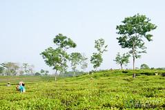Tea Pickers at Finlay Tea - Srimongal, Bangladesh (uncorneredmarket) Tags: people tea bangladesh teagardens teaestates manuallabor srimongal teaplantations ruralbangladesh teapickers sylhetdivision sreemangal