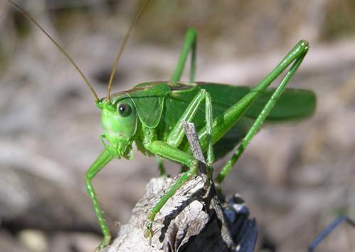 Tettigonia viridissima - Great green bush-cricket - Grande sauterelle verte - 10/07/11