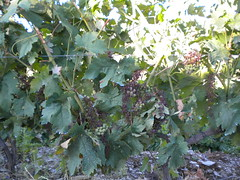 Grapes with mildew