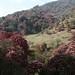 O colorido rosa dos Rododendros