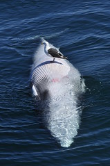 Belly up Minkie Whale (Doug's Photography) Tags: death wildlife seagull maine sigma sealife scavengers minkiewhale thewildlife