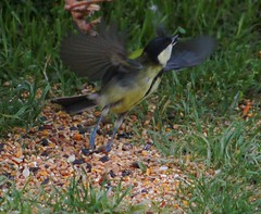 Great Tit Ground Take-off (aaron_eos_photography) Tags: summer bird nature birds garden inflight wildlife goldfinch july birdsinflight greattit gardenbirds gardenwildlife nygerseed wednesdayteatime