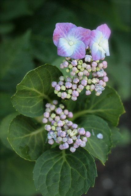 Hydrangea that I planted last year finally blossoming!