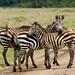 Deu zebra!!!
