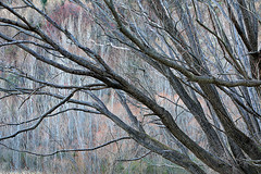 Arrowtown Willow II (rgarrigus) Tags: trees newzealand forest landscape branches willow otago arrowriver arrowtown poplars greatphotographers garrigus robertgarrigus robertgarrigusphotography