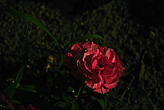 Moon Shadows (set) (Miss a Liss) Tags: nightphotography pink flowers green beauty night garden nikon slowshutter moonlight carnation picnik moonshadows