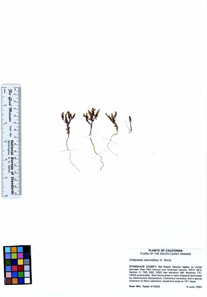 Campanula sharsmithiae
