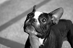 Laila (Joz3.69) Tags: blackandwhite bw dog animal animals geotagged bostonterrier 50mm blackwhite colombia pentax terrier kr laila huila f35 industar50 neiva m39 udaw pentaxkr centroveterinarioanimal industar50m3950mm135 geo:lat=2937551386639238 geo:lon=7526605227195125