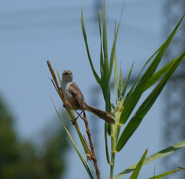 16-07-2011-graceful-prinia