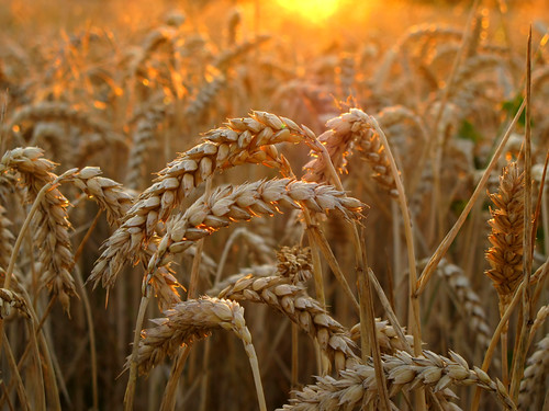 Wheat in golden Evening Light