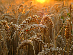 Wheat in golden Evening Light - - - Thanks for 100.000 views on this image !!! (Batikart) Tags: light sunset shadow summer food orange sun sunlight plant detail macro nature field leaves yellow closeup rural canon germany bread landscape geotagged deutschland gold golden evening leaf corn flora europa europe sonnenuntergang sommer wheat farming landwirtschaft natur grain pflanze cereal feld july gelb crop agriculture makro ursula 500faves sander fellbach badenwrttemberg swabian getreide weizen 2011 100000views 100faves 50faves 200faves triticum 300faves 1000faves 1500faves superaplus 400faves 600faves batikart remsmurrkreis 900faves 700faves 800faves bestcapturesaoi canonpowershotg11 elitegalleryaoi artistoftheyearlevel3