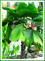 Licuala grandis, an exotic and elegant fruit-bearing palm tree