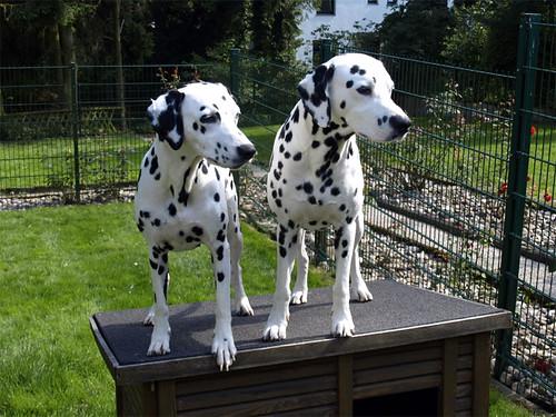 Dotty und Django mit 5 Jahren by Dalmatiner vom Hossenhaus